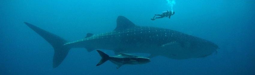 affrontare vendite impossibili: subacqueo che nuota sopra un grosso pesce con sotto un altro pesce grande ma più piccolo